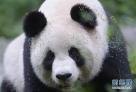 """图为在中国大熊猫保护研究中心核桃坪野化训练基地的大熊猫""""思雪""""。据了解,在野化训练第一阶段,大熊猫妈妈 """"思雪""""将教它的孩子""""映雪""""爬树、吃食、找栖息地等基本的生存本领。"""