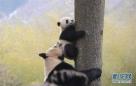"""图为在中国大熊猫保护研究中心核桃坪野化训练基地,大熊猫妈妈""""喜妹""""(下)教它的孩子爬树。"""