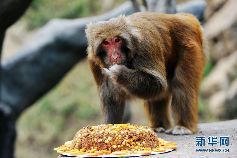 9月13日,在山东青岛森林野生动物世界,一只猴子在吃含有葡萄干,大枣