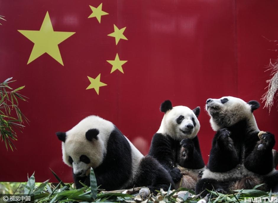 2016-09-29 09:18 来源:黑龙江网络广播电视台 2016年9月28日。广州长隆野生动物世界。全球唯一的大熊猫三胞胎萌帅酷都长大了,国庆后将开始独立生活了,这是大熊猫三胞胎一起欢度的第三个国庆了。视觉中国...