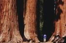 渺小的人类。加利福尼亚的红杉国家公园。