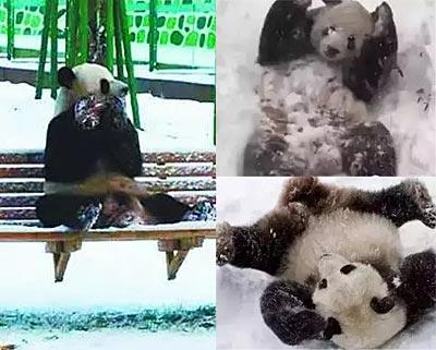 亚布力下大雪 大熊猫不淡定了……