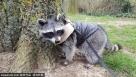 这种病没有很好的治疗方法,就是尽量避免剧烈运动和受伤,Kasey最后不得不辞掉工作在家静养。直到去年年底,她收到了一只可爱的浣熊宝宝,一人一浣熊成了彼此世界中密不可分的陪伴。
