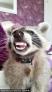 Kasey Valentine和浣熊Cody相伴。