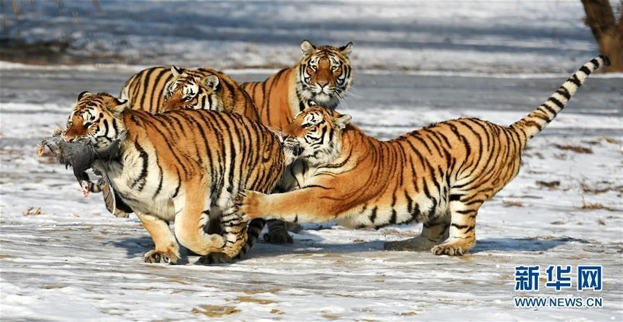 在黑龙江东北虎林园散放区,一群东北虎在捕食活鸡.图片