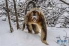 1月10日,在湖北省神农架大龙潭金丝猴保护基地,一只金丝猴在树林中行走。经过动物保护人员的多年努力,加之生态环境的不断改善,湖北省神农架金丝猴得到有效保护。目前,神农架金丝猴数量比20世纪80年代最少时增加了一倍多。