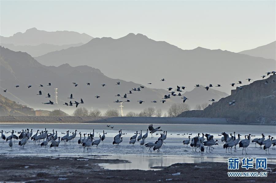 在拉萨市林周县卡孜水库拍摄的黑颈鹤.