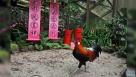 """1月11日,一只原鸡在新加坡裕廊飞禽公园的农历新年装饰旁。 当日,新加坡裕廊飞禽公园推出""""鸡禽足迹展"""",迎接农历新年。新华社发(邓智炜摄)"""