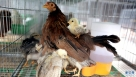 1月5日在越南河内附近的养鸡场拍摄的小鸡 。