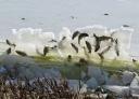 """摄像地位于莱克安第斯市自然公园。大学教授凯丽·普瑞亨认为这种现象的起因是湖里缺氧。""""当湖面结起厚厚的一层冰,特别是还覆盖着雪的时候,阳光很难达到水下,于是水中的植物和藻类就难以进行光合作用,因此减少了水中的含氧量,并且由于藻类和植物死亡和分解时也会耗氧,造成水中的含氧水平更低了,鱼类也因缺氧而死亡。"""""""