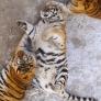 """近日,有一组东北虎照片在网上走红,照片中"""" 身材走样 """"的老虎一只只圆滚滚、胖都都,有如充饱气的气球,威严尽失,有网友表示,忍不住笑出声来,这简直就是只肥猫啊!"""