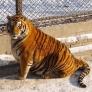 """据悉,东北虎主要分布在中国东北和俄罗斯西伯利亚的寒冷地带,是国际野生动物基金会所列""""世界十大濒危动物""""之一。"""