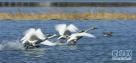 北京市密云区太师屯镇芦各庄村清水河水面上的野生白天鹅