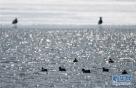 雁鸭类候鸟在兴凯湖开化湖段水中游弋