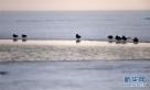 雁鸭类候鸟在兴凯湖开化湖段的冰上休息