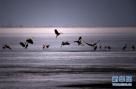 几只苍鹭在兴凯湖冰冻湖面上翩翩起舞