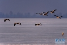 几只苍鹭在兴凯湖冰冻湖面上起飞