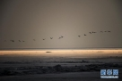 一群雁鸭类候鸟从兴凯湖冰冻的湖面上飞起