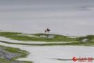 """新疆那拉提草原现""""春雪牧歌图"""""""