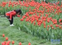 一名小朋友在北京国际鲜花港欣赏绽放的郁金香。
