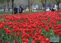 游客在北京国际鲜花港欣赏绽放的郁金香。