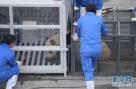 """4月11日,在中国大熊猫保护研究中心卧龙神树坪基地,大熊猫""""武雯""""进入运输笼。"""