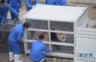"""4月11日,在中国大熊猫保护研究中心卧龙神树坪基地,工作人员在给装进运输笼的大熊猫""""星雅""""喂食。"""