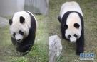 """这是4月10日在中国大熊猫保护研究中心卧龙神树坪基地拍摄的大熊猫""""星雅""""(左)和""""武雯""""(拼版照片)。"""