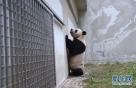 """这是4月10日在中国大熊猫保护研究中心卧龙神树坪基地拍摄的大熊猫""""星雅""""。"""