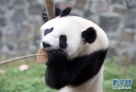 """这是在中国大熊猫保护研究中心卧龙神树坪基地拍摄的大熊猫""""武雯""""(2016年11月2日摄)。"""