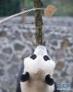 """这是在中国大熊猫保护研究中心卧龙神树坪基地拍摄的大熊猫""""武雯""""(2016年11月2日摄)"""