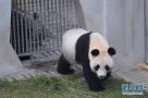 """这是4月10日在中国大熊猫保护研究中心卧龙神树坪基地拍摄的大熊猫""""武雯"""""""