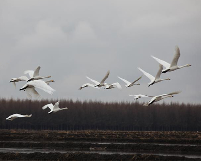 水稻田里迎来美丽白天鹅
